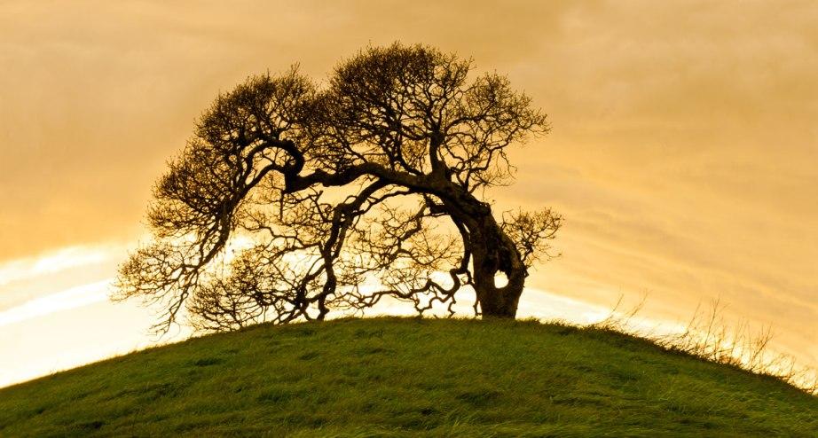 bent tree, sunset